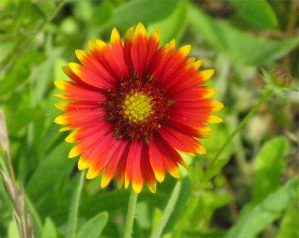 Indian blanket flower image id 1 281